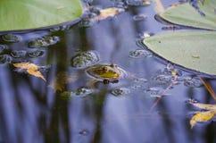 Zakończenie portret żaba i insekty w bagnie Fotografia Royalty Free