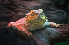 Zakończenie portret żeńska brown iguana, zagrożoni gatunki obraz royalty free