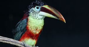 Zakończenie portret czubaty Aracari zdjęcie wideo