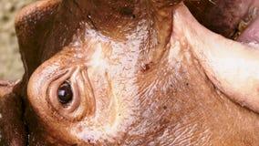 Zakończenie portret duży hipopotam zbiory wideo