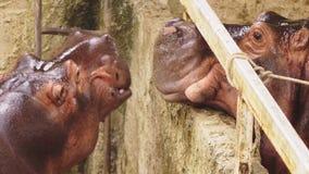 Zakończenie portret duży hipopotam zdjęcie wideo