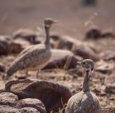 Zakończenie portret dwa Rueppell ` s Heterotetrax lub dropia rueppelii ptak, Palmwag koncesja, Namibia, Afryka fotografia royalty free