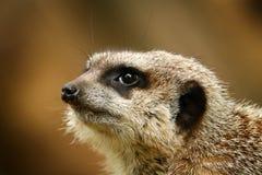 Zakończenie portret meerkat obrazy royalty free