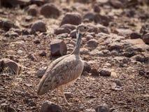 Zakończenie portret Rueppell ` s Heterotetrax lub dropia rueppelii ptak, Palmwag koncesja, Namibia, Afryka fotografia stock