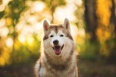 Zakończenie portret szczęśliwy beżu i bielu pies hoduje Syberyjskiego husky obsiadanie w jesieni na jaskrawym lasowym tle zdjęcia royalty free