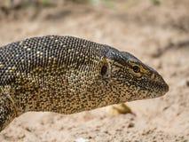 Zakończenie portret wielka kolorowa monitor jaszczurka brać w Caprivi pasku Namibia, afryka poludniowa Obrazy Stock