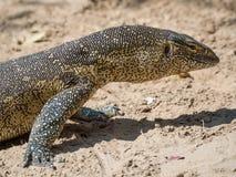Zakończenie portret wielka kolorowa monitor jaszczurka brać w Caprivi pasku Namibia, afryka poludniowa Fotografia Stock