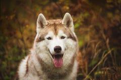 Zakończenie portret wspaniały Beżowy Syberyjski husky w sezonie jesiennym na lasowym tle Wizerunek husky pies w jesieni zdjęcie royalty free