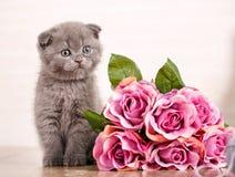 Zakończenie portreta Szkocki kot Figlarka z bukietem róże bawić się z balową nicią zdjęcia royalty free