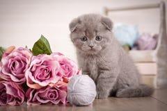Zakończenie portreta Szkocki kot Figlarka z bukietem róże bawić się z balową nicią Ulubiona kot gra jest a fotografia stock
