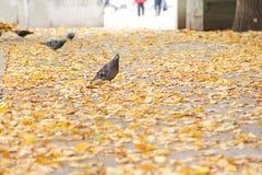 Zakończenie pospolita popielata gołębia pozycja na kolorze żółtym up opuszcza w parku w naturalnym świetle Zdjęcie Stock