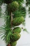 Zakończenie potomstwo szyszkowa owoc na gałąź modrzewiowy Larix decidua obraz royalty free