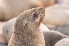 Zakończenie przylądek Futerkowa foka przy przylądka krzyżem Fotografia Stock