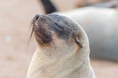 Zakończenie przylądek Futerkowa foka przy przylądka krzyżem Zdjęcia Royalty Free