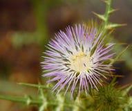 Dojnego osetu kwiat Zdjęcia Royalty Free