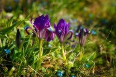Zakończenie purpurowy irys up kwitnie tło gazon krajobrazowi delikatni wiosna kwiaty Lis Zdjęcia Royalty Free