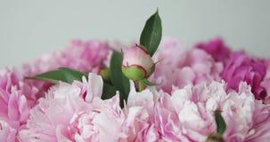 Zakończenie różowe peonie zdjęcie wideo