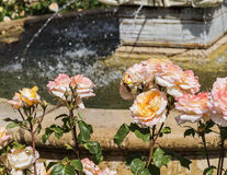 Zakończenie różowe róże Obrazy Stock