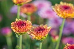 zakończenie różowi kwiaty z ostrością w słońca świetle Obraz Royalty Free