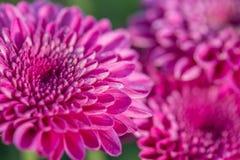 zakończenie różowi kwiaty z ostrością w słońca świetle Obrazy Royalty Free