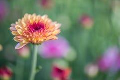 zakończenie różowi kwiaty z ostrością w słońca świetle Zdjęcia Royalty Free