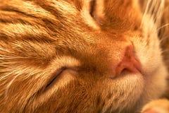 Zakończenie różowy nos sypialny czerwony włosiany kot Zdjęcia Royalty Free