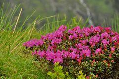 Zakończenie różowy różanecznik kwitnie na górze Obrazy Royalty Free