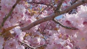 Zakończenie różowy Sakura migdał kwitnie lub Japońscy czereśniowi okwitnięcia zbiory