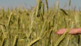 Zakończenie ręka bieg przez pszenicznego pola zbiory