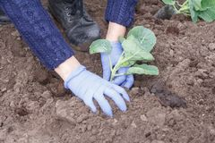 Zakończenie ręki żeńska ogrodniczka up zasadzają zielonej kapusty ziarna Obraz Stock