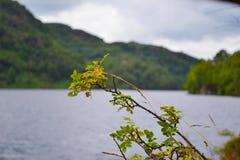 Zakończenie roślina w Loch Katrine Katrine jeziorze w średniogórzach, Zdjęcie Stock