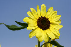 Zakończenie słońce kwiat Fotografia Stock