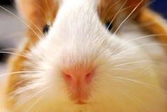 Zakończenie słodki szczeniak królik doświadczalny Obrazy Stock