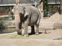 Zakończenie słonia łasowanie w zoo bardzo smutny słoń fotografia royalty free
