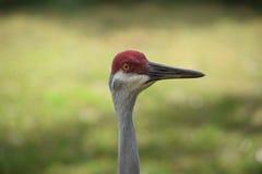 Zakończenie Sandhill żuraw Zdjęcie Royalty Free