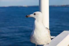 Seagull portret Zdjęcie Stock