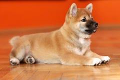 Zakończenie Shiba Inu szczeniak up purebreed psa na czerwonym tle obrazy royalty free