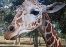 Zakończenie Siatkująca żyrafa Fotografia Royalty Free