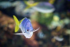 Zakończenie srebna ryba Zdjęcia Royalty Free