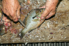 Zakończenie stary up obsługuje ręki waży ryba Obraz Stock