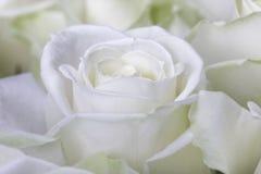 Zakończenie strzał biel róża obraz royalty free