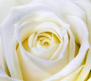 Zakończenie strzał biel róża zdjęcia royalty free