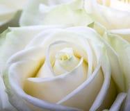 Zakończenie strzał biel róża obraz stock