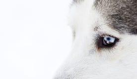 Zakończenie strzał husky psa niebieskie oczy Zdjęcia Royalty Free