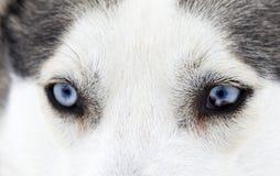 Zakończenie strzał husky psa niebieskie oczy Zdjęcia Stock