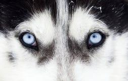 Zakończenie strzał husky psa niebieskie oczy Zdjęcie Royalty Free