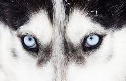 Zakończenie strzał husky psa niebieskie oczy Obraz Stock