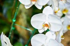 zakończenie Strzelający Białe orchidee Obraz Stock