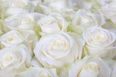 Zakończenie strzelający białe róże obraz royalty free