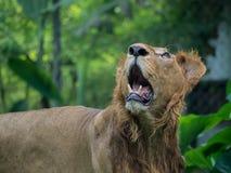 Zakończenie strzelający lew Fotografia Royalty Free
